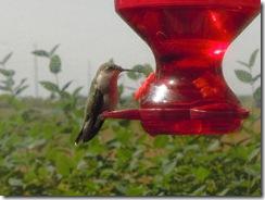 baby humming bird 014