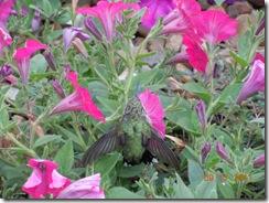 baby humming bird 025