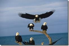 mature-bald-eagle-group_847