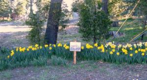 daffodilssign
